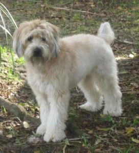 35 lb wheaton terrier